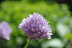 http://www.biopix.com/chives-allium-schoenoprasum-var-schoenoprasum_photo-76226.aspx