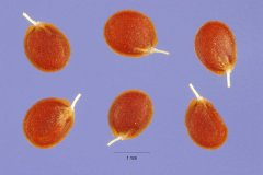 http://plants.usda.gov/gallery/large/alal3_002_lhp.jpg