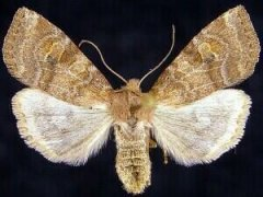 http://mothphotographersgroup.msstate.edu/species.php?hodges=9962