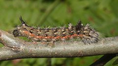 http://commons.wikimedia.org/wiki/File:Acronicta-impleta-001.jpg
