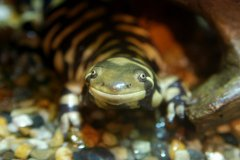 http://commons.wikimedia.org/wiki/File:Barred_Tiger_Salamander_Tennoji.jpg