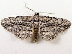 http://mothphotographersgroup.msstate.edu/species.php?hodges=6590