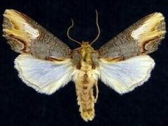 http://mothphotographersgroup.msstate.edu/species.php?hodges=10270