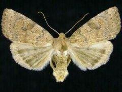 http://mothphotographersgroup.msstate.edu/species.php?hodges=9963