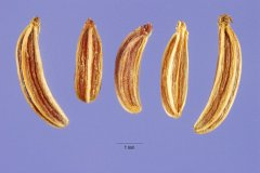 http://plants.usda.gov/gallery/large/caca19_002_lhp.jpg