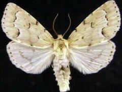 http://mothphotographersgroup.msstate.edu/species.php?hodges=9207