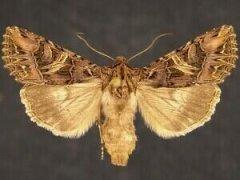 http://mothphotographersgroup.msstate.edu/species.php?hodges=10232