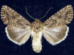 http://mothphotographersgroup.msstate.edu/species.php?hodges=10224