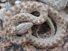 Nightsnake (Hypsiglena chlorophaea)