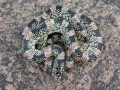 Long-nosed Snake (Rhinocheilus lecontei) - Photo by William Bosworth, Idaho Fish and Game