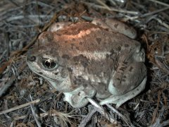 Great Basin Spadefoot (Spea intermontana) - Photo Public Domain by William Bosworth, Idaho Dept. Fish and Game