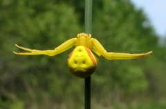http://en.wikipedia.org/wiki/Misumena_vatia#mediaviewer/File:Goldenrod_Spider.jpg
