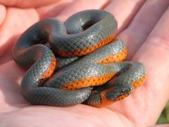 Ring-necked snake (Diadophis punctatus) - Photo Public Domain by Joel Sauder, Idaho Dept. Fish and Game