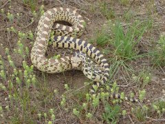 Gophersnake (Pituophis catenifer) - Photo by Beth Waterbury, Idaho Fish and Game