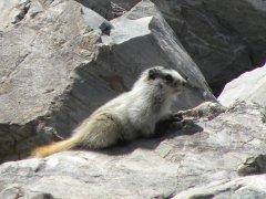 Hoary Marmot (Marmota caligata) - Photo Public Domain by Beth Waterbury, Idaho Fish and Game