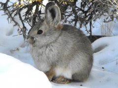 Pygmy Rabbit (Brachylagus idahoensis) - Photo Public Domain by Beth Waterbury, Idaho Fish and Game