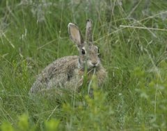 http://animaldiversity.ummz.umich.edu/site/resources/phil_myers/ADW_mammals/Lagomorpha/sylvilagus7991.jpg/medium.jpg