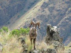 Rocky Mountain Bighorn Sheep Photo