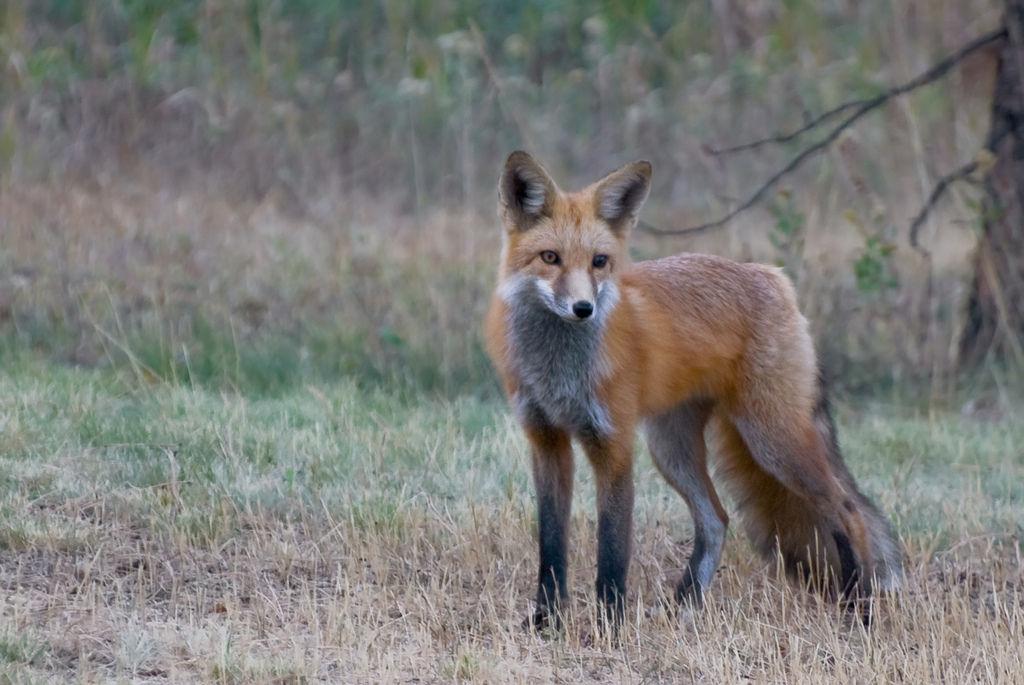 Red Fox Vulpes Vulpes Idaho Fish And Game