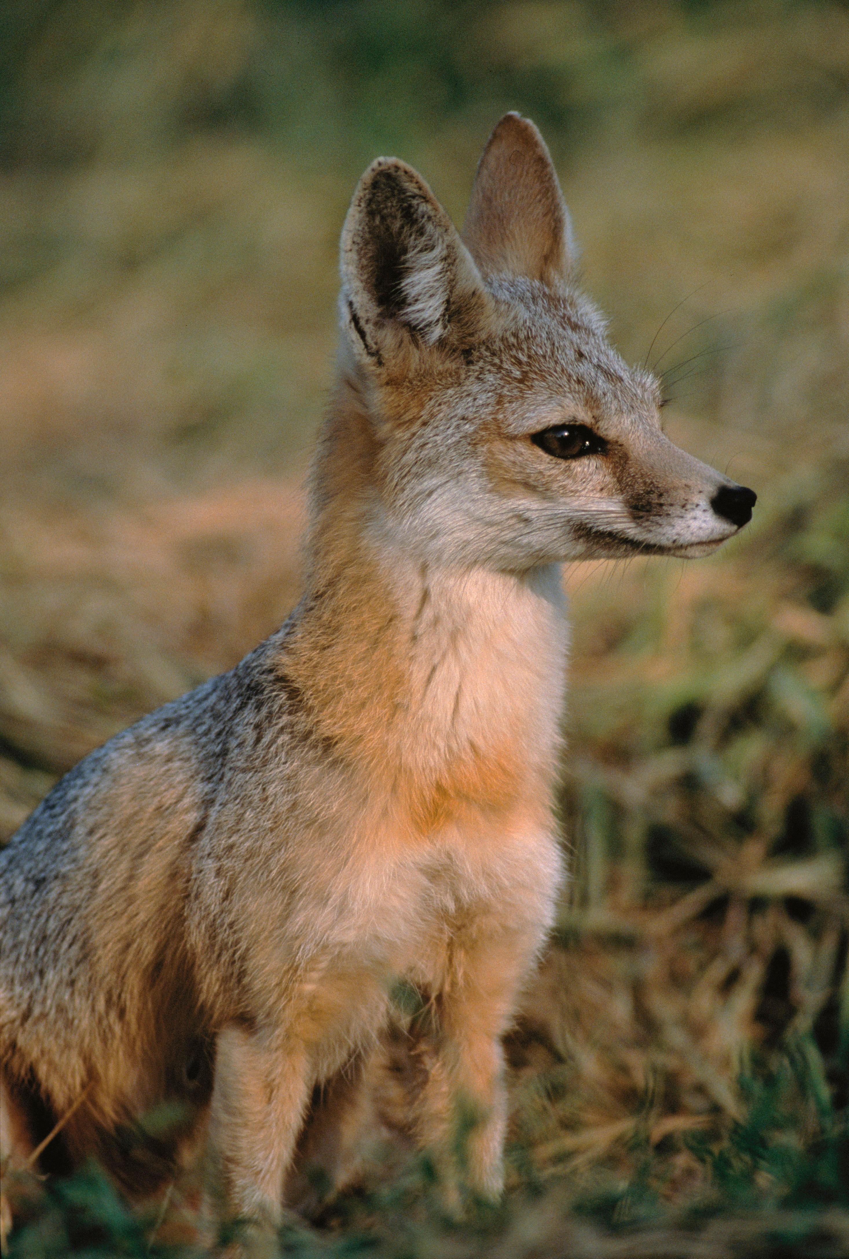 Kit Fox Vulpes Macrotis Idaho Fish And Game