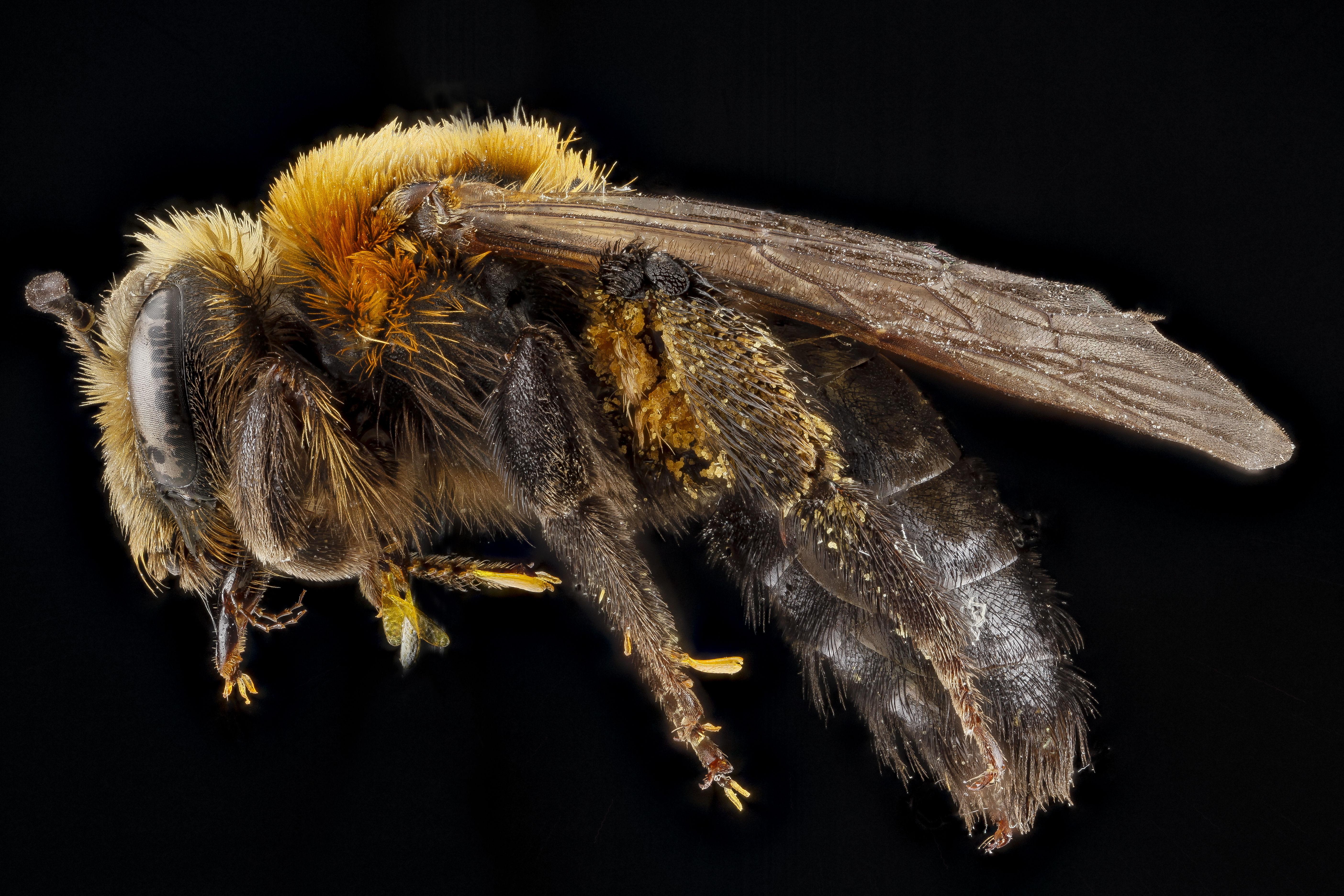 Species Lupinorum