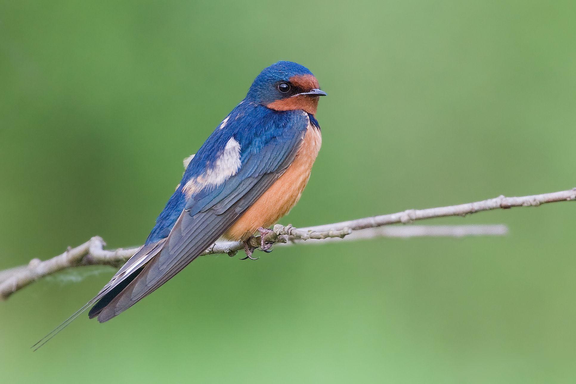 Barn Swallow (Hirundo rustica)   Idaho Fish and Game