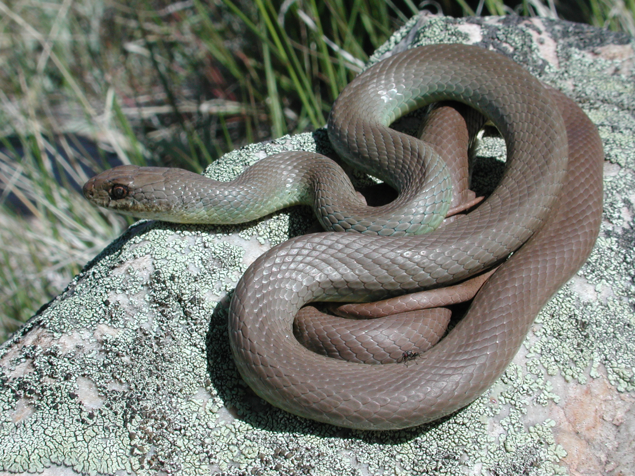 Racer Coluber Constrictor